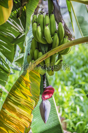 banana blossom misfah abreyeen