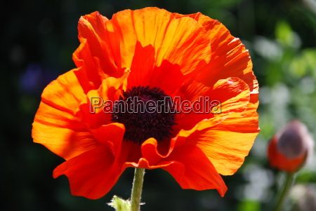 the great turkish papaver orientale in