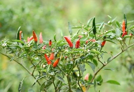 fresh chili on tree