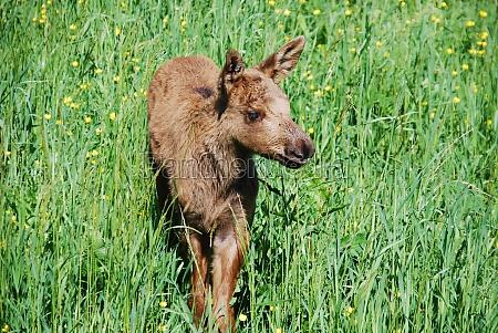 elk calf in a summer meadow