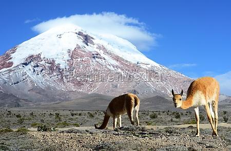 vicugna stratovolcano chimborazo cordillera occidental andes