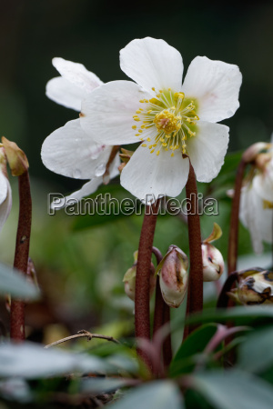 hellebore helleborus niger hellebore schneerose