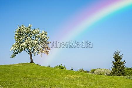 flowering fruit tree with rainbow