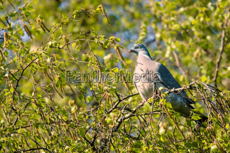 dove sitting in a tree in