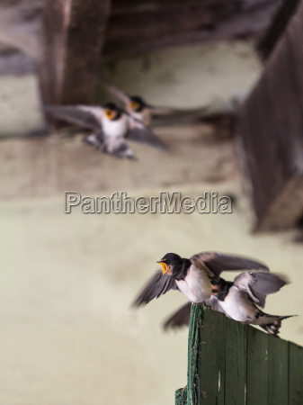 young swallows at the zanken