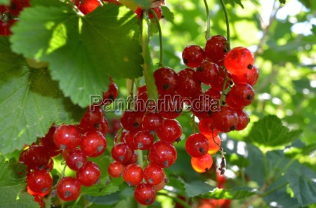 vitamin bomb the red currant