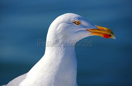 seagull tierportrait