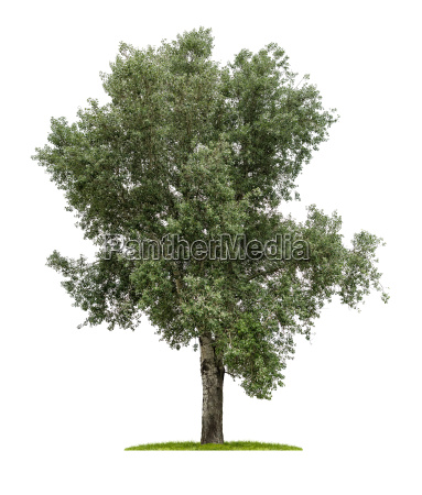 exposed deciduous tree against a white