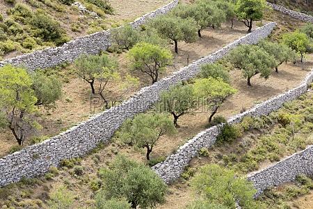 olive trees on karpathos greece