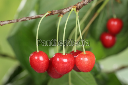 mature cherries on a cherry tree