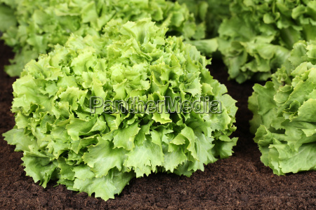 salad in the vegetable garden or