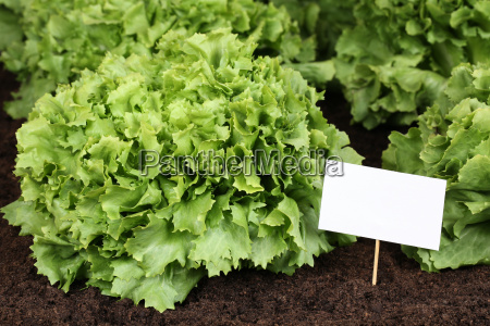 salad in the vegetable garden with