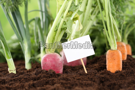 fresh vegetables in the garden with