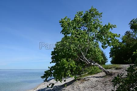 aspen tree on mackinac island
