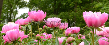 suzette peonies on green background