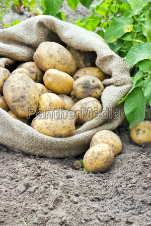 bag vegetables fresh yellow potatoes harvest