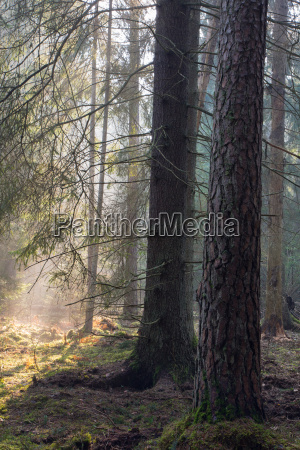 sunbeam entering rich coniferous forest