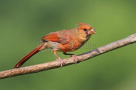juvenile cardinal in a tree