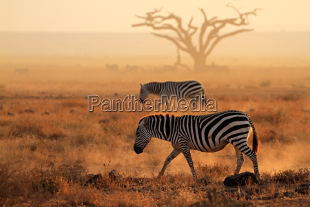 plains zebras in dust