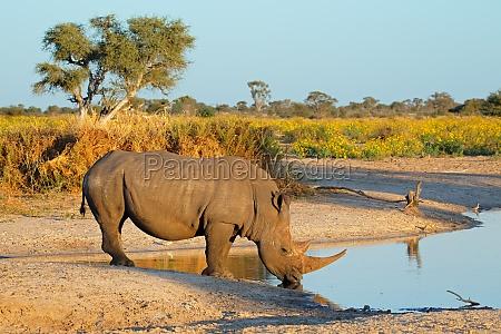 white rhinoceros drinking
