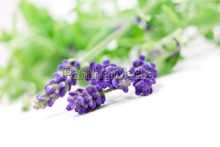 exempted lavender