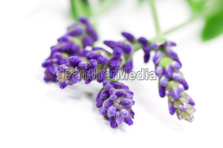 lavender exempted
