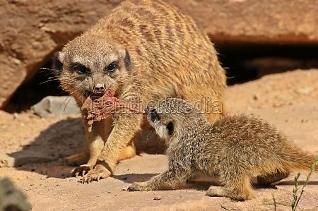 meerkats are fighting over food