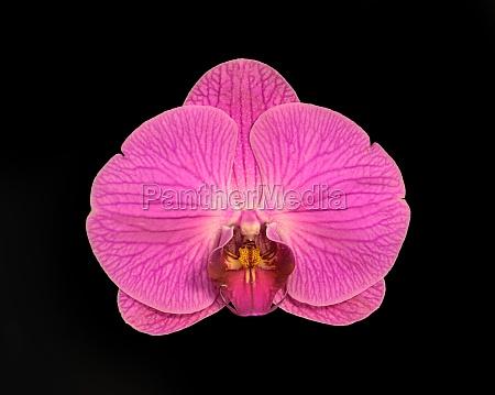 doritaenopsis chian huey red rose stars