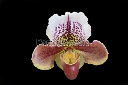 orchid paphiopedilum havana spice