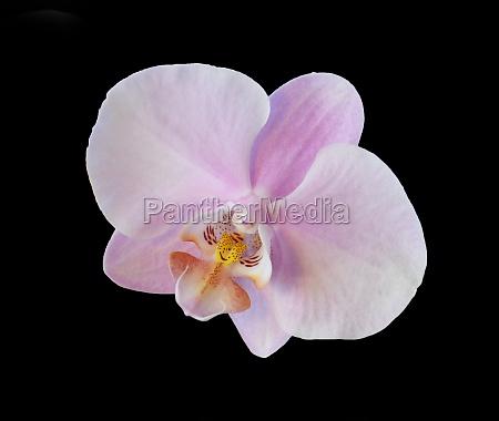 orchid phalaenopsis leucorrhoda