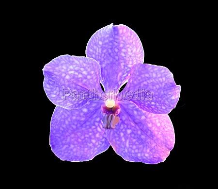orchid vanda pachara delight