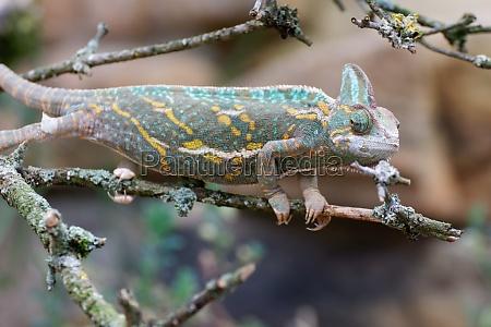chamaeleo calyptratus yemen chameleon chameleon chamaeleonidae