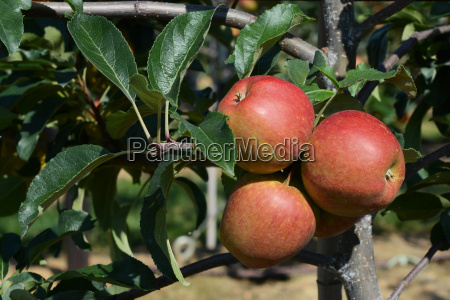 three red apples ripen on the