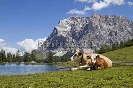 cows on seeebensee
