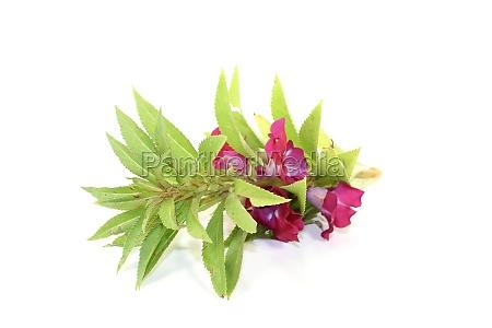 violet balsamine
