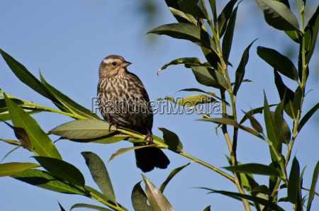 red winged blackbird perched in tree