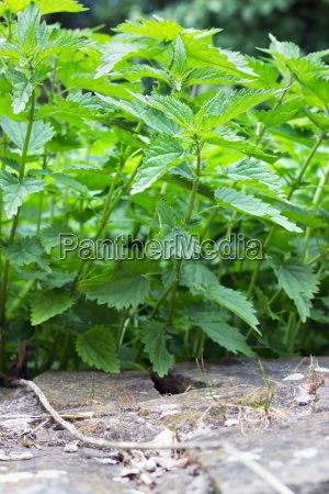 leaf stone wild weed nettle tares