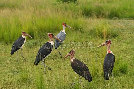 marabou stork group in the grasslands