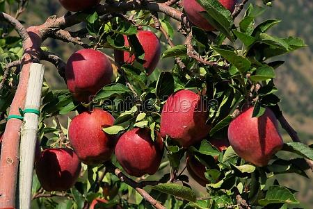 apple on the tree apple on