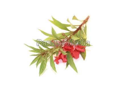 red balsamine