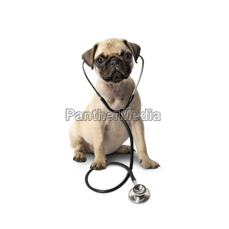 dog with stethoscope isolated on white