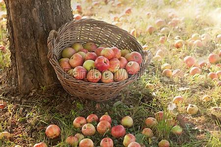 apple harvest in late summer