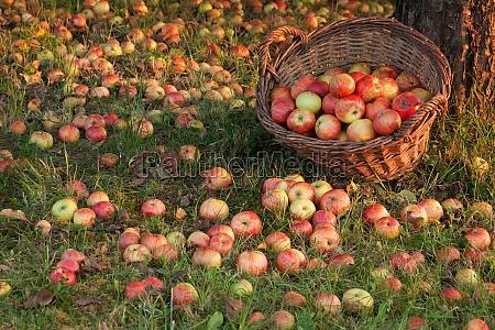 rich apple harvest