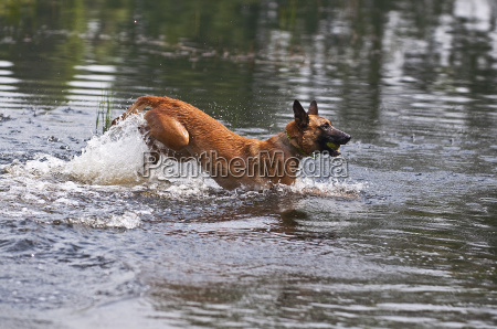 malinois jumping while romping in the