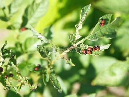 colorado potato beetle caterpillar eats potatoes