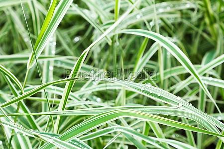 wet green blades of carex morrowii