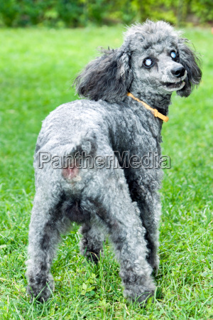 black poodle with diseased eyes outdoors