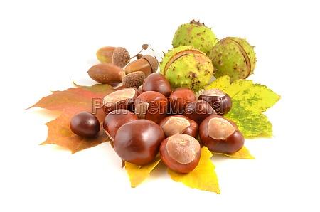 chestnut and acorn