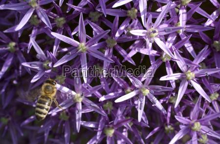 bee on allium cristophii