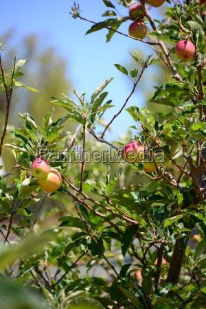 apple apples on tree